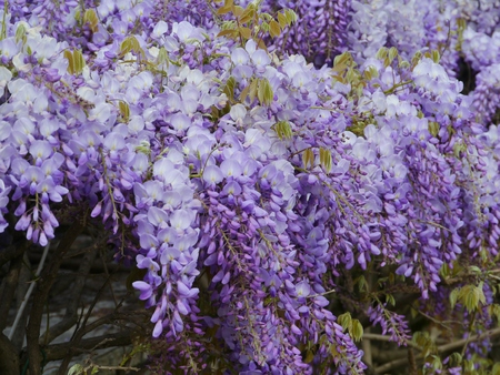 fabaceae: A flowering Wisteria Sinensis a plant of the pea family Fabaceae Stock Photo