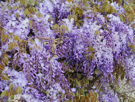 seasonally: A flowering Wisteria Sinensis a plant of the pea family Fabaceae Stock Photo