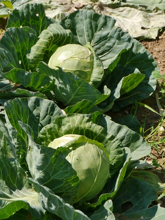allotment: Reaping cabbage planst  (brassica olerocea)  in an allotment garden