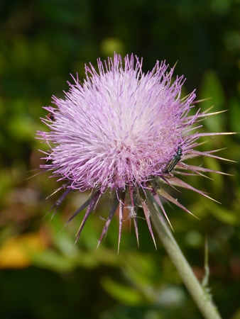 A plume thistle (cirsium vulgare) photo