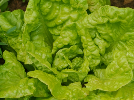 A close up of a head of cabbage lettuce photo