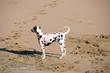 dalmatian: An enthousiastic Dalmatian dog on the beach Stock Photo