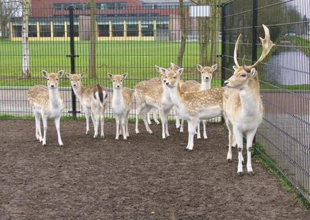 roebuck: A roe deer herd with a roe-buck in front in a paddock
