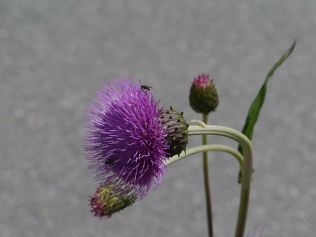 The opening bud of a plume thistle (cirsium vulgare) photo