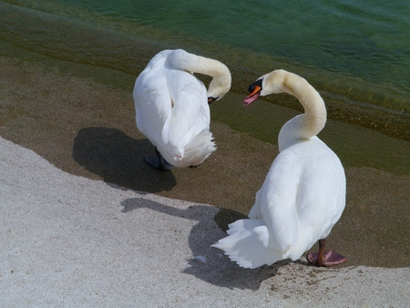 percept: A couple mute swans at the waterfront of a lake Stock Photo