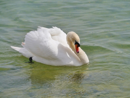bowing head: An angry mute swan (cugnus olur) Stock Photo