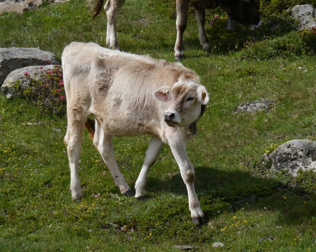 Cow in a meadow in the mountains of the  the Bernina pass in Switzerland photo