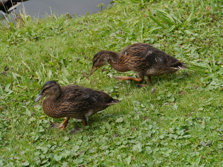 grown ups: Two young mallards on the grass