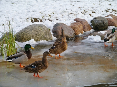 idling: Mallards on the ice in the winter