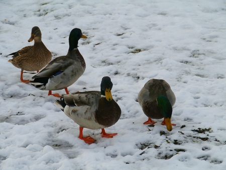 idling: Mallards in the snow in the winter