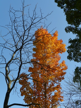 acer saccharum: A tree with autumnal yellow leaves between trees with barren branches and green leaves opposite a blue sky
