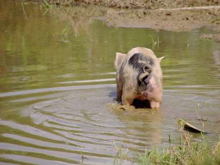 pigling: A Young pig in the mud of a pool at a Caribbean island