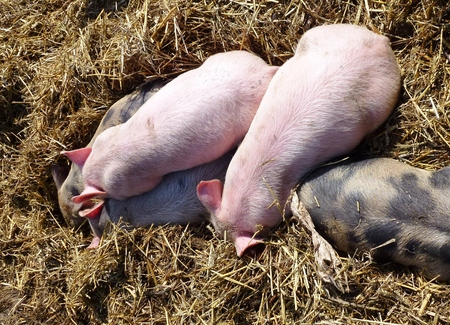 Sleeping mottled and pink piglets in the straw photo