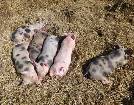 piglets: Sleeping mottled and pink piglets in the straw