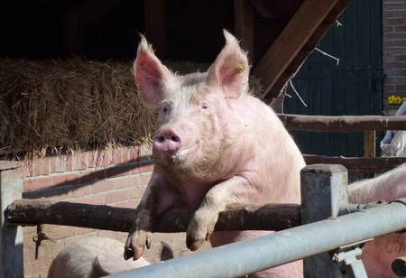 slobber: Young chattering pig on the gate of the stable waiting for food