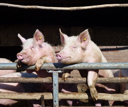 Young chattering pigs on the gate of their stable waiting for food photo