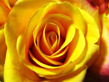 rosas amarillas: Rosas amarillas anaranjadas como un regalo en San Valentín o día de la madre Foto de archivo