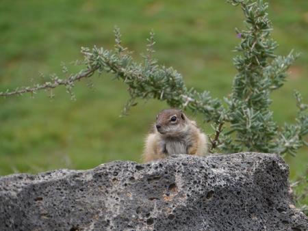 sympathetic: Barbary ground squirrel (atlantoxerus getulus) of The Spanish island Fuerteventura