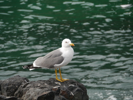 larus: The lesser black backed gull (Larus fuscus) on the rocks of the island Fuerteventura one of the Canarian island belonging to Spain in the Atlantic Ocean