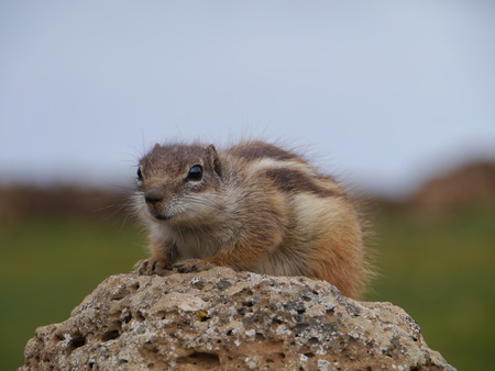 Barbary ground squirrel (atlantoxerus getulus) on the Spanish island Fuerteventura one of the Canary islands in the Atlantic Ocean belonging to Spain photo