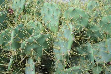 indica: The prickly pear (Opuntia indica or cactus ficus indica) is a famous fig cactus