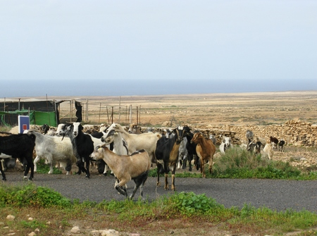 A flock of goats in the village Tindaya on Fuerteventura in Spain photo