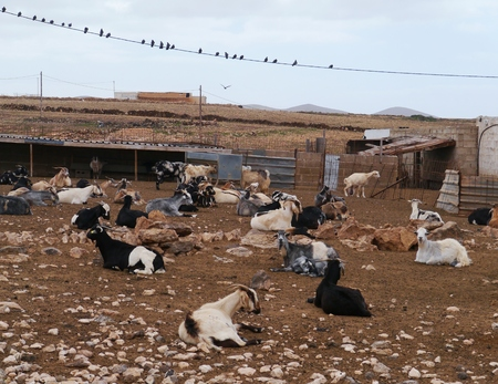 Goats at a cheese farm near Llapus de la conception on the island Fuerteventura one of the Canary island in the Atlantic Ocean belonging to Spain