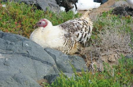 turkey hen: Un salvaje descansando blanco pava en la isla de Fuerteventura uno de la isla canaria que pertenece a Espa�a en el Oc�ano Atl�ntico