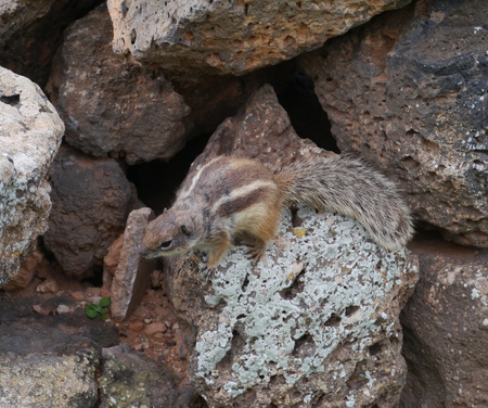 sympathetic: Barbary ground squirrel (atlantoxerus getulus) on the Spanish island Fuerteventura one of the Canary islands in the Atlantic Ocean belonging to Spain