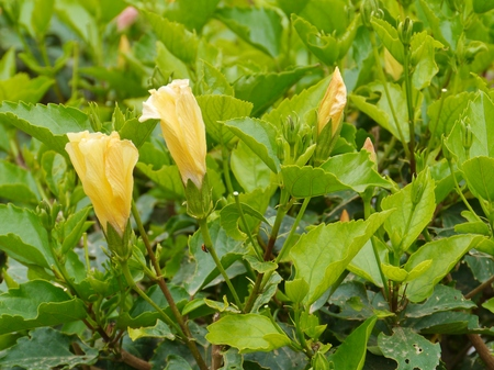 malvaceae: Hibiscus or Rose mallow  plants with flowerbuds belonging to the Mallow family (Malvaceae)
