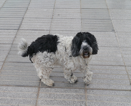 english cocker spaniel: A black and white English Cocker Spaniel Stock Photo