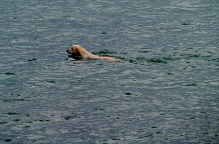 eager: A golden retriever swimming in the Atlantic ocean Stock Photo
