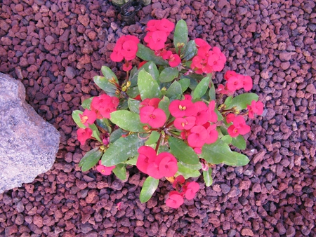 Crown of thorns or Christ plant (Euphorbia milii) is a succulent shrub with thorns and is flowering with small flowers Stock Photo