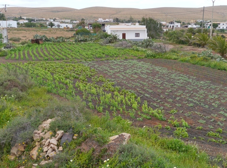 belonging: An allotment garden with vegetables on the Island Fuerteventura one of the Canary islands belonging to Spain