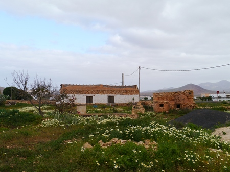 oxeye: A ruin daisies and fig cacti in the surroundings of Valle de Santa Inez on Fuerteventura one of the Canary islands in the Atlantic Ocean belonging to Spain Stock Photo