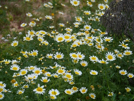 subtropics: Daisies (aaronsohnia pubescens) at the desert countryside of  the island Fuerteventura one of the Canary islands in the Atlantic Ocean belonging to Spain Stock Photo