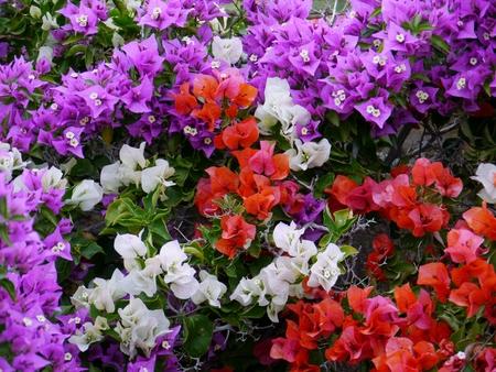 belonging: Flowering bougainvillae on the Canary island Fuerteventura belonging to Spain