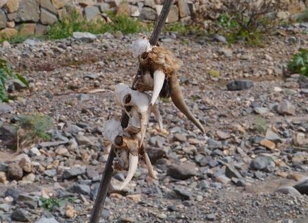 belonging: Three goat skulls on a stick on the Canary island Fuerteventura belonging to Spain Stock Photo