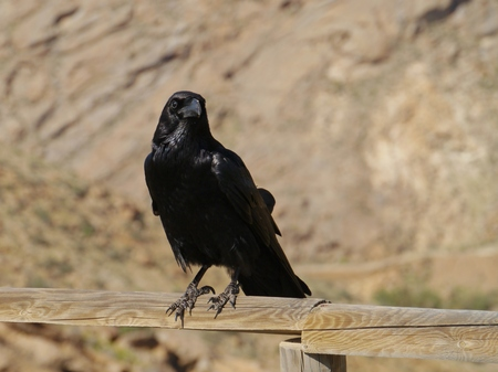 corax: Canary island raven (Corvus corax tingitanus) also known as the african raven is a large all-black bird Stock Photo