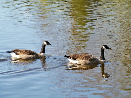 exalt: Two Canada geese (branta Canadensis) in the water of a pond in a park in the Netherlands