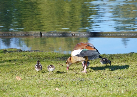 Egyptian goose (alopochen aegyptiaca) with young ones at the Waterfront of a pool in a park photo