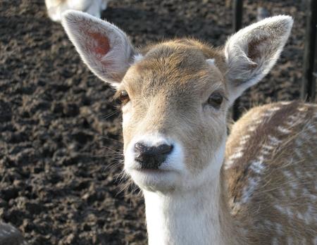 capreolus: Roe deer in a paddock in the Netherlands
