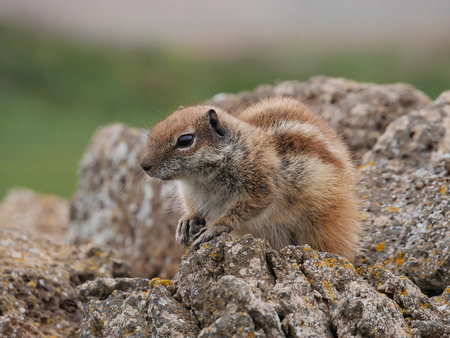 barbary: Barbary ground squirrel (atlantoxerus getulus) on the Spanish island Fuerteventura one of the Canay island belonging to Spain in the Atlantic Ocean Stock Photo