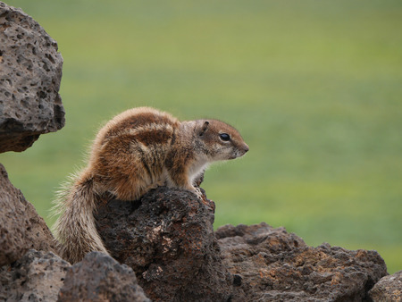 sympathetic: Barbary ground squirrel (atlantoxerus getulus) on the Spanish island Fuerteventura one of the Canay island belonging to Spain in the Atlantic Ocean Stock Photo