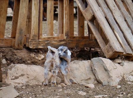 hircus: Majorera baby goat (cabra majorera) at a goat milk cheese farm near Llapus de la conception on the island Fuerteventura one of the Canary island in the Atlantic Ocean belonging to Spain