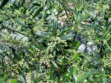 A flowering olive tree in spring growing on the the island Ugljan in the Adriatic sea of Croatia