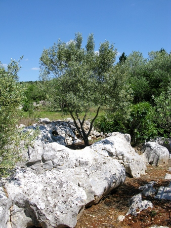 An olive tree growing on the rocks of the island Ugljan in the Adriatic sea of Croatia
