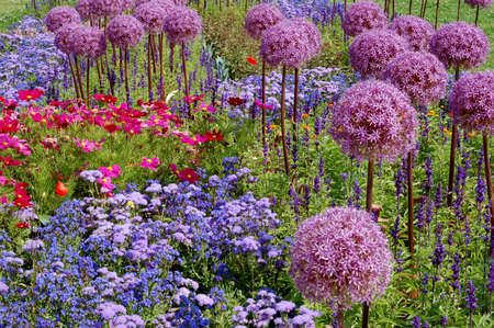 flower bed with giant allium Imagens