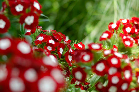 dots of gilly flowers photo