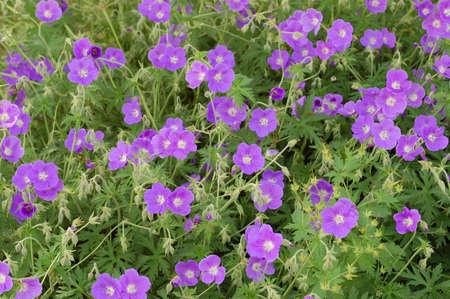 lila: lila geranium blossoms Stock Photo